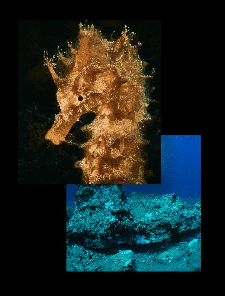 mojo dive inmersiones veril de fariones lanzarote oceans caballito de mar